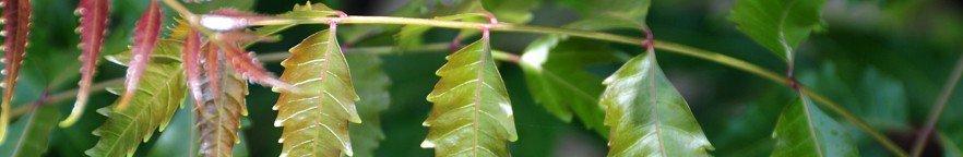 Leaf Infusion Deodorant